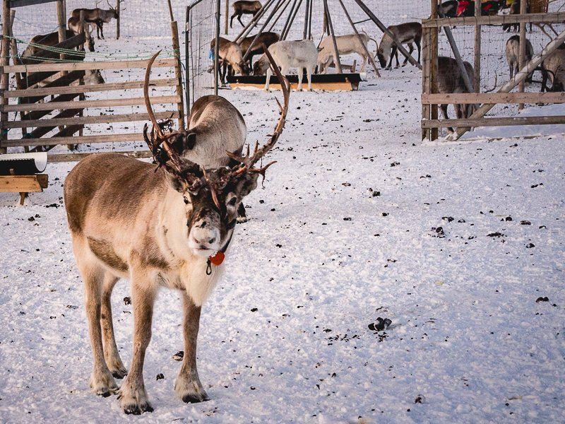 Sami Reindeer Farm Tromso Norway