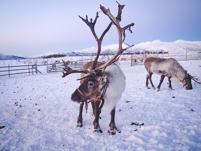 Polowanie na zorze chasing the northern lights Tromso Norwegia Norway Renifer Reindeer Aga Out Of Office